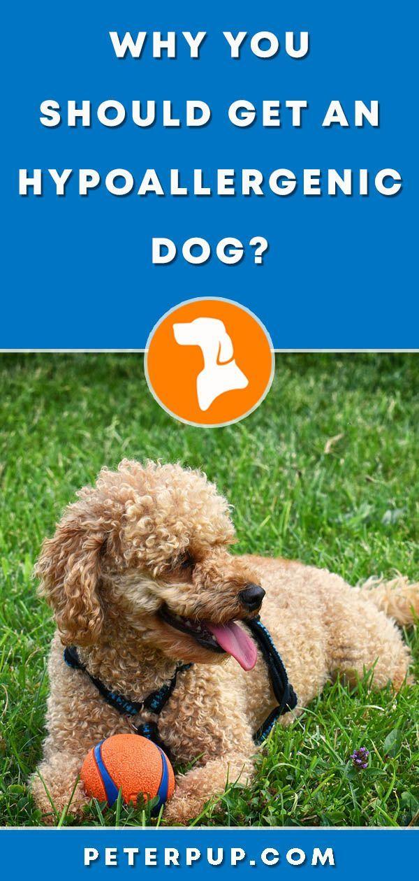 Dogs : Best Hypoallergenic Dogs For Allergic People - PetsTips net